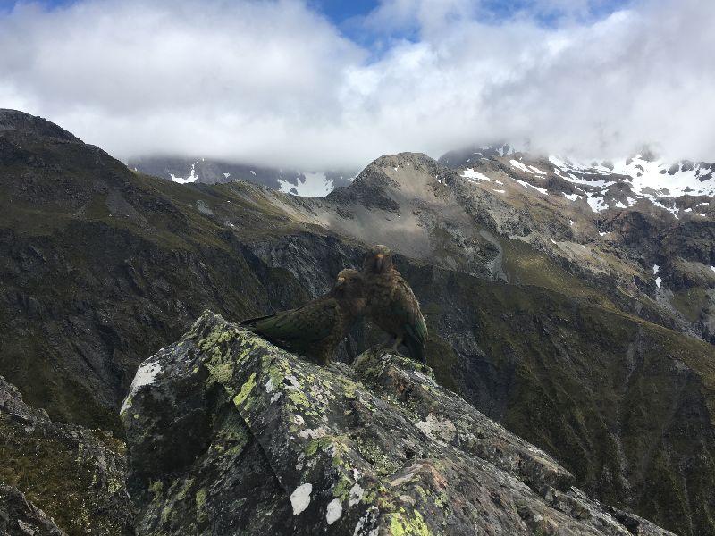 Kea at Avalanache Peak Arthur's Pass