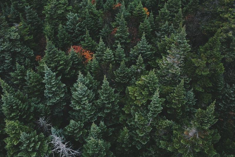 view of a deep green coniferous forest from above looking down